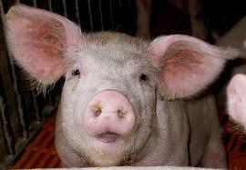 Cochon qui rit