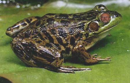 Pierre dans l'oeil d'une grenouille